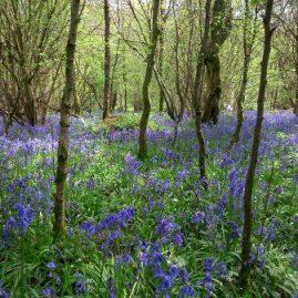 Bluebells in Savernake Forest